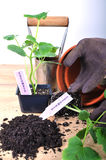Pflanzen der Gurke Lizenzfreie Stockfotos