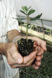 Pflanzen der Olive Stockfoto