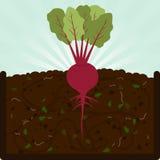 Pflanzen der roter Rübe und des Komposts Stockfotografie