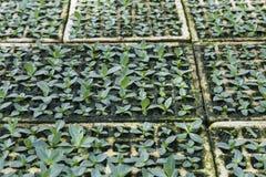 Pflanzen der Sämlinge Stockbild