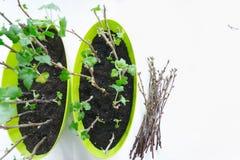 Pflanzen der Sämlingskorinthe in den Töpfen, Gartenwerkzeuge lizenzfreie stockfotos