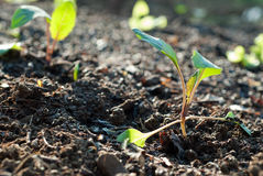 Pflanzen der Sämlinge Stockfotos