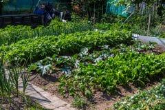 Pflanzen der Tomaten Stockfoto