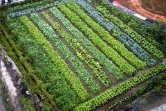 Pflanzen der Tomaten Lizenzfreie Stockfotos