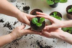 Pflanzen der Zimmerpflanze Lizenzfreies Stockfoto