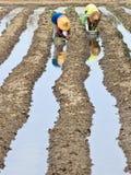 Pflanzen des Gemüses Lizenzfreies Stockfoto