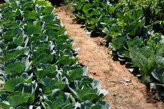 Pflanzen des Kohls Stockbild