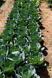 Pflanzen des Kohls Lizenzfreie Stockfotografie