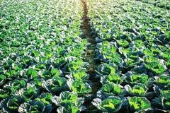 Pflanzen des Kohls im Winter Stockbild