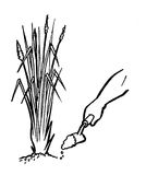 Pflanzen des Kuskusgrases Lizenzfreies Stockbild