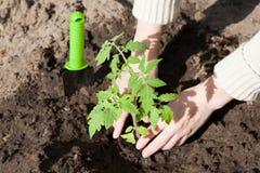 Pflanzen eines Tomatensämlings im Boden Lizenzfreies Stockfoto