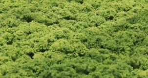 Pflanzen im Gewächshaus Wachsende grüne salats und Gemüse im Gewächshaus Wasserkulturwachsen im Gewächshaus, 4k stock footage