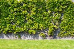 Pflanzen Sie das Klettern auf der Wand mit hellgrünen Blättern Stockbilder