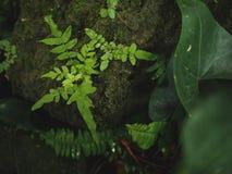 Pflanzen Sie grüne Natur des Blattes auf Steinfelsenmoosfarn lizenzfreie stockfotografie