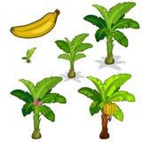 Pflanzen und Bearbeitung der Bananenpalme Vektor Stockfoto