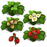 Pflanzen und Bearbeitung der Erdbeere Vektor Stockfotos
