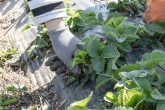 Pflanzen von jungen Erdbeers?mlingen in den Reihen auf dem Feld stockfotos
