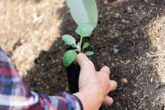 Pflanzen von jungen Sämlingen im Gemüsegarten Stockfoto