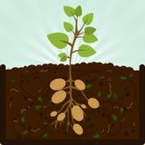 Pflanzen von Kartoffeln und von Kompost Stockfotos