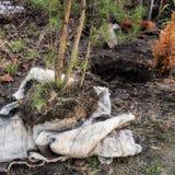 Pflanzen von Nadelbäumen in den Boden Stockbilder
