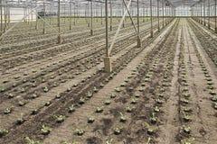 Pflanzen von neuen jungen andive Anlagen stockfoto