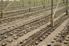 Pflanzen von neuen jungen andive Anlagen stockfotos