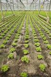Pflanzen von neuen jungen Salatanlagen lizenzfreie stockfotografie