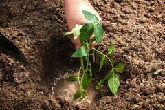 Pflanzen von Sämlingen im Boden Stockbild