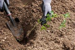 Pflanzen von Sämlingen im Boden Lizenzfreie Stockfotos