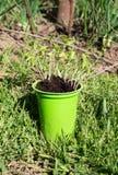 Pflanzen von Tomatensämlingen Stockfoto