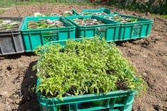 Pflanzen von Tomatensämlingen Stockbild