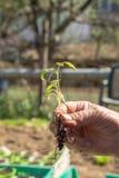 Pflanzen von Tomatensämlingen Stockfotos