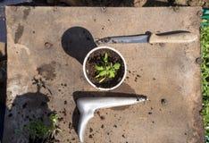 Pflanzen von Tomatensämlingen Lizenzfreies Stockbild