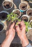 Pflanzen von Tomatensämlingen Lizenzfreie Stockbilder