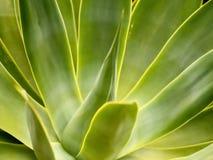 Pflanzenblätter einer Aloe als Beschaffenheit oder Hintergrund lizenzfreie stockbilder
