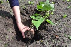 Pflanzend und wachsen Sie Süßkartoffelbatatenanlage, Jamswurzeln in den vegatables im Garten arbeiten lizenzfreies stockbild