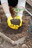 Pflanzende Ernte der Landwirtschaftsarbeitskraft auf Boden Stockfoto