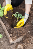 Pflanzende Ernte der Landwirtschaftsarbeitskraft auf soi Lizenzfreie Stockbilder