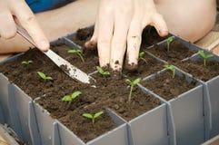 Pflanzender Prozess von Tomatensprösslingen lizenzfreie stockbilder