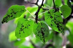 Pflanzenkrankheit auf dem Birnenblatt lizenzfreie stockfotografie