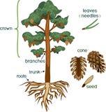 Pflanzenteile Morphologie der Kiefers mit Krone, Wurzelwerk und Kegel mit Titeln vektor abbildung