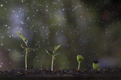 Pflanzenwachstum vom Samenbaum im Naturhintergrund Lizenzfreie Stockfotografie