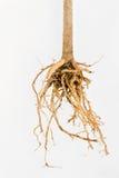 Pflanzenwurzel Stockfoto