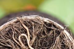 Pflanzenwurzeln Stockbilder