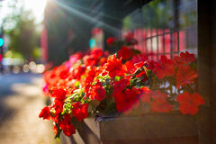 Pflanzer mit roten Blumen stockbild