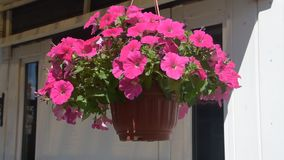 Pflanzertopfblume baumeln im Wind stock video footage