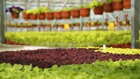 Pflanzliche Erzeugung in den Gewächshäusern stock footage