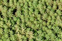 Pflanzte dicht der Bodendeckemehrjährigen pflanze Sedum oder des Mauerpfeffers robuste saftige Hintergrundbeschaffenheit mit star stockfotografie