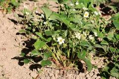 Pflanzte dicht Erdbeer- oder Gartenerdbeeranlagen mit den Reinweißblumen, die mit grünen dem gepflanztem Blättern und trockenen B lizenzfreies stockfoto