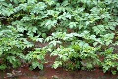 Pflanzte dicht Kartoffelpflanzen im lokalen städtischen Garten, der teilweise während der Regenjahreszeit überschwemmt wurde stockbilder